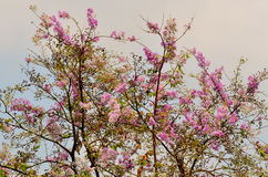 Belle fleur pourpre de la Thaïlande Photos stock