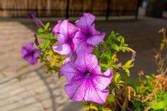 Belle fleur pourpre de lierre photographie stock