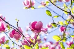 Belle fleur pourpre de liliiflora de magnolia avec des baisses de l'eau tôt le matin Vue d'une magnolia rose fermée de Mulan photo stock