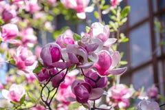 Belle fleur pourpre de liliiflora de magnolia avec des baisses de l'eau tôt le matin Vue d'une magnolia rose fermée de Mulan image stock