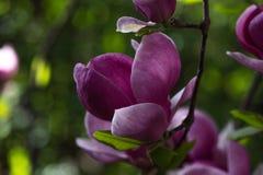 Belle fleur pourpre de liliiflora de magnolia avec des baisses de l'eau tôt le matin Vue d'une magnolia rose fermée de Mulan image libre de droits