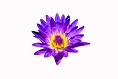 Belle fleur pourpre de Waterlily à l'arrière-plan blanc photographie stock libre de droits