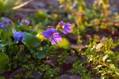 Belle fleur pourpre pendant le lever de soleil Image stock