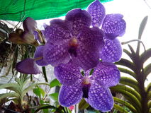 Belle fleur pourpre Thaïlande d'orchidée Photo libre de droits