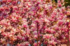 Belle fleur romantique de magnolia Image libre de droits