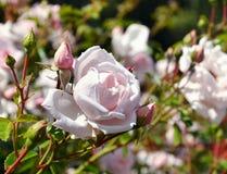 Belle fleur rose photos libres de droits