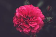 Belle fleur rose abrégez le fond L'espace à l'arrière-plan pour la copie, texte, vos mots Photo libre de droits
