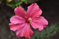 Belle fleur rose avec huit pétales images libres de droits