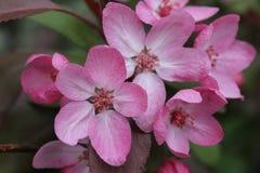 Belle fleur rose d'arbre de ressort Image stock