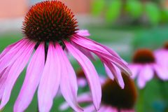 Belle fleur rose d'Echinacea photographie stock libre de droits