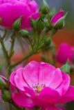 Belle fleur rose d'isolement de jardin abrégez le fond L'espace à l'arrière-plan pour la copie, texte, vos mots Photo stock