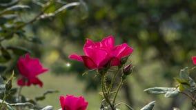 Belle fleur rose dans le jardin également avec la couleur gentille de fond photo stock