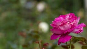 Belle fleur rose dans le jardin également avec la couleur gentille de fond images stock