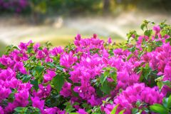 Belle fleur rose de fleur avec de l'eau irriguer et arrosant l'herbe photographie stock libre de droits