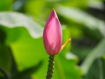Belle fleur rose de banane Image libre de droits