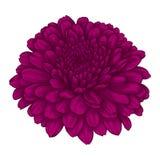 Belle fleur rose de chrysanthème aquarelle d'effet d'isolement sur le fond blanc illustration stock