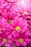 Belle fleur rose de chrysanthème avec le rayon de soleil Images stock
