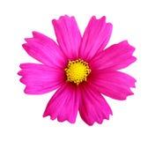 Belle fleur rose de cosmos d'isolement sur le fond blanc Photographie stock