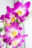Belles fleurs roses de dendrobium Photographie stock libre de droits