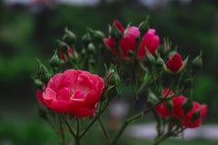 Belle fleur rose de jardin abrégez le fond L'espace à l'arrière-plan pour la copie, texte, vos mots Photos libres de droits