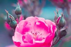 Belle fleur rose de jardin abrégez le fond L'espace à l'arrière-plan pour la copie, texte, vos mots Photo stock