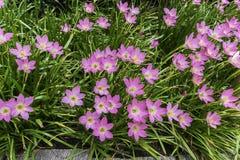 Belle fleur rose de lis de pluie Photos libres de droits
