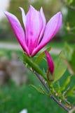 Belle fleur rose de magnolia sur les milieux verts Image libre de droits