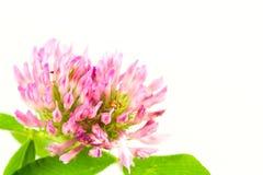 Belle fleur rose de trèfle d'isolement sur le fond blanc image stock