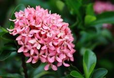 Belle fleur rose de transitoire fraîche dans naturel photo libre de droits