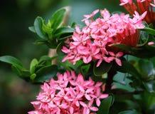 Belle fleur rose de transitoire fraîche dans naturel images libres de droits