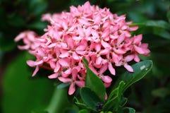 Belle fleur rose de transitoire fraîche en nature image libre de droits