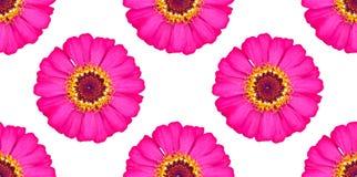 Belle fleur rose de zinnia de modèle sans couture photo stock
