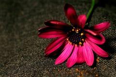 Belle fleur rose enveloppée à l'arrière-plan gris Images libres de droits
