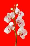 Belle fleur rose et pourpre vive d'orchidée Images stock