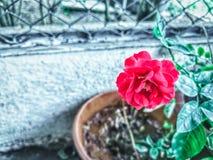 Belle fleur rose rouge dans le pot photographie stock libre de droits