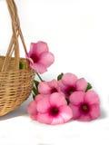 Belle fleur rose sur le fond blanc Photographie stock libre de droits