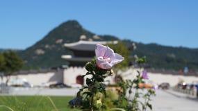Belle fleur rose sur le fond de la porte Gwanghwamun Image stock