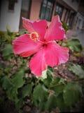 Belle fleur rougeâtre et passionnante photos stock