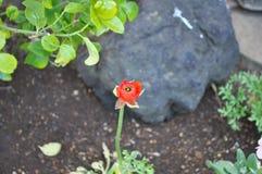 Belle fleur rouge photo libre de droits