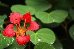 Belle fleur rouge avec la rosée de matin Images stock