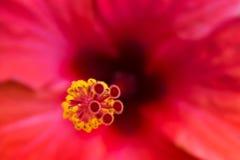 Belle fleur rouge avec le pilon et les stamens Images stock