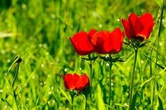 Belle fleur rouge d'anémone Photographie stock