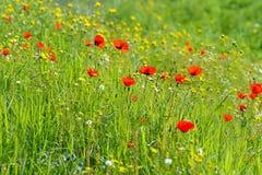 Belle fleur rouge d'anémone sur un gisement de ressort Image stock