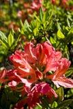 Belle fleur rouge d'azalée Photos stock