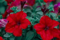 Belle fleur rouge d'isolement de jardin abrégez le fond L'espace à l'arrière-plan pour la copie, texte, vos mots Photos libres de droits