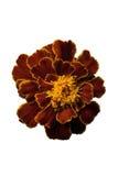 Belle fleur rouge d'isolement sur le fond blanc Photo stock
