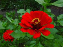 Belle fleur rouge dans un jardin Images libres de droits