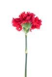 Belle fleur rouge de floraison d'isolement sur le fond blanc Image stock