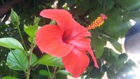 Belle fleur rouge de grande ketmie photographie stock