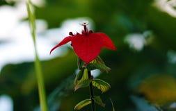 Belle fleur rouge de passion, fleur magnifique d'usine dans la jungle de Costa Rica images libres de droits